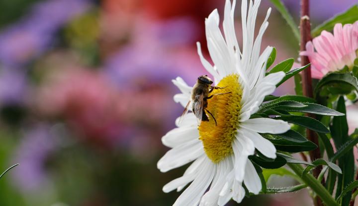 Blume Biene