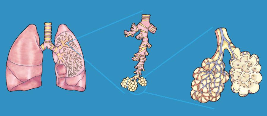 Poumon illustration