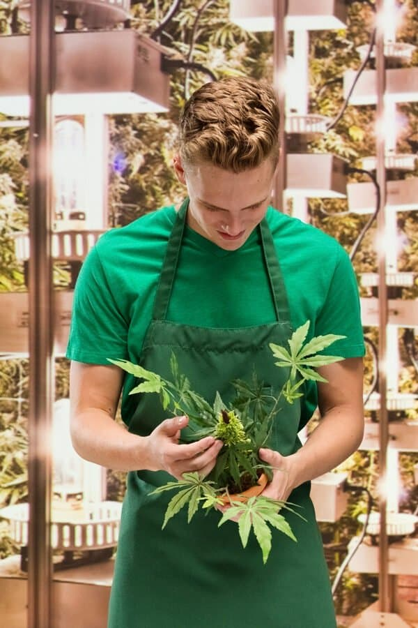 Cannabis-Gärtner Indoor-Plantage