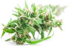 Cannabis White Background