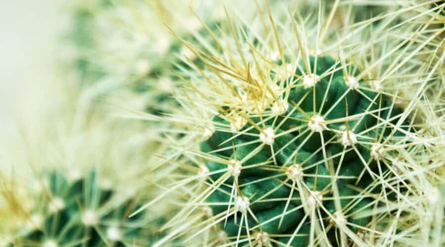 Kaktus mit langen Stacheln