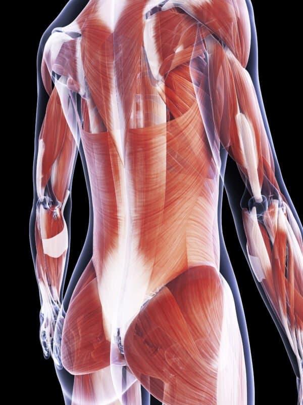 Illustration Rückenmuskeln